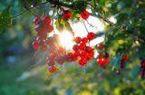 Лето Солнце Смородина Зелень Деревня