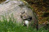 Кот сидел на вершине и усердно метил камень (тёрся щеками, холкой).В пылу страсти, он потерял равновесие и съехал на попе на землю, изрядно, видимо, удивившись.