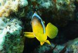 Амфиприон или Рыба- Клоун- вид рыб из семейства помацентровых Территориальный и агрессивный вид, живет парами среди стрекательных щупальцев актиний, предоставляющих ему защиту от хищников. Размер 5-6 см.Питается водорослями, беспозвоночными и остатками пищи своей актинии. Красное море