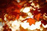 Осень, листья, клён.