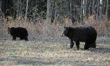 В субботу мы с Олегом поехали на озеро, и у леса,  по дороге , на обочине, увидели медведицу и двух медведжат. Но один медвежонок в кадр не попал, он в сторонке стоял. Выходить из машины не стала, побоялась, да и Олег бы не разрешил. Снимала через открытое окно, и меня все это время отпихивал от окна мой собакин, который тоже лез смотреть на медведей, открыв рот и восторженно виляя хвостом.