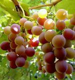 Виноград,сорт Лидия, розовый, ароматный, очень вкусный и ароматный сок получается и вино