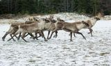 The caribou are now herding together....