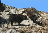 Это лохматое вонючее чудовище с шерстью, свисающей до земли, -живой символ Гималаев. Без этого животного не прожить жителям высокогорья. Як снабжает их  мясом,  молоком и шерстью, служит незаменимым на этих высотах перевозчиком грузов. Недаром на денежной купюре Непала изображена пара яков.