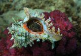 Обычно раковина лежит на дне, замаскированная под рельеф местности.Вся красота спрятана внизу, и увидеть ее невозможно.Очень хотела показать удивительное Чудо, искала удачный подводный ракурс, фон, интерьер...После фотосессии раковина была возвращена на местоРаковина Хикореус Ветвистый, Красное море