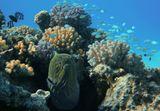 Гигантская Мурена, Изумрудный Хромис, Голубой Губанчик, Коралл ПоциллопораКрасное море