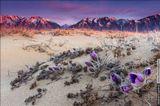 Первые цветки сон-травы пробиваются из песка посреди пустыни на фоне Кодарского хребта, рассвет.Россия, Забайкальский край, Каларский район, урочище Чарские пески, май 2013.