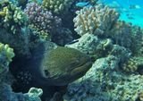 """Две Рыбы: Гигантская Мурена и Голубой Губанчик- """"разноразмерность"""" просто поражает!Изумрудный Хромис подчеркивает """"гигантность"""" Мурочки :)))Гигантская Мурена, Голубой Губанчик, Изумрудный Хромис.Красное море"""