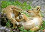 Тот же самый зверь, что и на http://www.lensart.ru/picture-pid-5f7e.htm#picture, стало быть и условия съёмки аналогичные :))