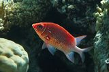 Андаманская Рыба- Белка, Красное море
