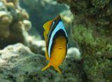 """Храбрая Рыбка, размером не более пяти сантиметров, завидев фотографа,отплыла от Актинии, чтоб отвлечь внимание от своего родного """"домика""""Амфиприон, Красное море"""
