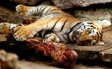 Это малыш амурского тигра из ялтинского зоопарка. Амурских тигров осталось на земле всего 70 особей, и двое из них - это неоценимый вклад ялинского зоопарка, в котором они родились. При численности в 70 особей еще +2 - это уже очень много!