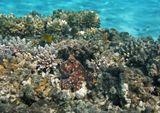 Осьминог плавно передвигался по кораллам, забавно переставляя щупальца. При этом он постоянно менял цвет и форму. Наблюдать было очень интересноОсьминог, Красное море