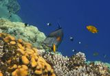 Аравийская Рыба- Хирург, Лимонный ЛеопольдитКрасное море