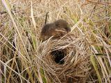 Мыши-малютки строят свои гнезда над землей в густой траве, тросниках.