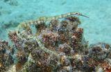 Размер Рыбок примерно 10 сантиметров.Игла- Коритоихт Шульца, Игла- Коритоихт СетчатаяКрасное море