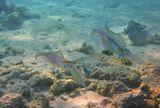 Сепиотеутис (Прибрежный Кальмар)Красное море