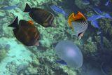 Рыбы, атакующие Ушастую Медузу: Зебрасома- Парусник, Нитепёрая Рыба- Бабочка, Полосатый ЦезийКрасное море