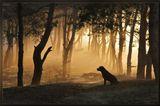пес, собака. лабрадор, лес, туман, сосны, рассвет, осень, деревья, иглы, утро