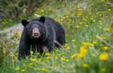 Banff National Park, CanadaВесной медведи после зимней спячки выходят на обочины дороги и поедают одуваны.