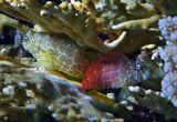 Короткая Экзалия или Морская Собачка, размер Рыбки 6-7 см, пугливая, при малейшем движении воды прячется.Рыбы-Собачки НЕ имеют чешуи и плавательного пузыря у них нет.Основной пищей являются мелкие донные ракообразные, моллюски, водоросли или планктон.Живут в Огненных Кораллах. Самки менее яркие. Самцы территориальные и готовят гнездо.Несколько самок откладывают туда икру, а самец охраняет кладку.Короткая Экзалия, Красное море