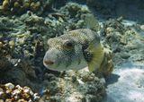 Колючий Аротрон, Красное море