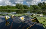 Ворскла река лилии
