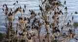 """""""Те, кто когда-либо шел морем в Стокгольм,должны помнить странные белые острова среди Стокгольмских шхер.Эти острова облюбованы бакланами.Даже ненаблюдательному человеку их присутствие сразу бросается в глаза.Места, которые эта птица выбирает для обитания,быстро покрываются слоем белого гуано.И если бакланы облюбуют островок с лесом,очень скоро он становится мёртвым.""""(Сергей Шамров)Bird IslandKonungariket Sverige Stockholm"""