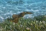 Сепиотеутис (Прибрежный Кальмар), Красное море