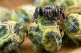 Туя (гемма) и паук скакун