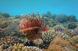 Снимала в лучах заходящего солнца. Размер Рыбки около 30 сантиметров.Крылатка- Зебра, Красное море