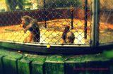 Абхазский заповедник. Используемые в медицинских опытах обезьяны
