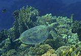 """Черепаха снята на глубине 5-6 метров. Толща воды """"поглощает"""" коралловое разноцветье,тем самым помогает обитателям морских глубин замаскироваться от хищниковЧерепаха Бисса, Красное море"""