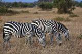 Кения. Зебры.