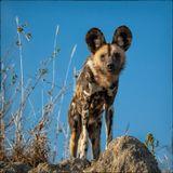 Африканский дикий пес. Проверил нас с вершины термитника, убедился в безопасности семьи и прилег отдохнуть. Серию смотреть здесь: http://andrevictor1.35photo.ru/photo_761477/