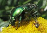 Бронзовка и муравей на цветке декоративной ромашки.