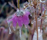 """Результат """"ледяного дождя"""".природа цветы лёд"""
