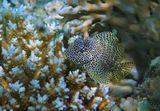 Короткая Экзалия, размер Рыбки около 6 сантиметровКрасное море