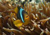 """Красноморский Амфиприон, Энтакмея Четырехцветная (Актиния)Размер Рыбки примерно 6- 7 сантиметров. Актиния- """"домик"""" для Амфиприона.Красное море"""