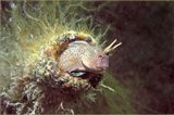 Ушастая морская собачка.