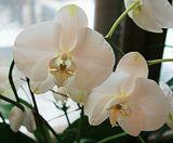 моя тяжелая болезнь порой отступает и в это время всегда расцветает и распускается наша белая орхидея