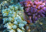 """Многие Рыбки умеют менять свой окрас не только под цвет окружающего интерьера,но даже в зависимости от настроения: испуг, агрессия, спокойное состояние.Короткая Экзалия, например, умудрилась """"подобрать"""" двухцветный наряд,чтоб максимально замаскироваться в бело- розовых кораллах.Размер Собачки примерно 5-6 сантиметров.Короткая Экзалия (Рыба- Собачка), Красное море"""
