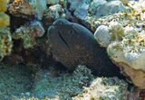 Мурена залегла на глубине около четырех метров.Пряталась, как только замечала приближающуюся к ней фотокамеру,но несколько снимков все- таки посчастливилось сделать.Желтопёрая Мурена, Красное море