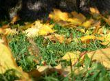 Уже желтые листья на еще зеленой траве