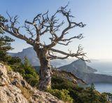 Крым, горы, море, старое дерево