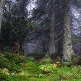Горный лес утонул в облаках...Карпаты, Украина