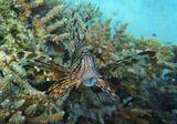 Днем Крылатки обычно малоактивны. С наступлением сумерек они выходят на охоту. Главной пищей для них являются крабы, креветки, моллюски и мелкая рыба.Стоя неподвижно, Крылатка похожа на пучок цветных водорослей. Рыбешки, решившие обследовать этот пучок, неожиданно попадают в широко раскрывшийся рот крылатки.Снимок сделан за несколько минут до полного захода солнца, на вечерней Зорьке.Крылатка- Зебра, Красное море