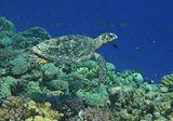 Бисса — морская черепаха на грани исчезновения. Питаются Биссы анемонами, креветками, кальмарами, вытаскивая их из рифов своим мощным клювом.Биссы- отличные пловцы. Они могут задерживать дыхание почти на 45 минут.Но наступает время, когда надо набрать воздуха и пойти на всплытие.Посчастливилось наблюдать этот момент: всплытие ИзСиневыМорскихГлубинЧерепаха Бисса, Красное море
