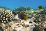 """Чернопёрый Толстогубый Губан вырастает до 50 см. На снимке малёк размером 6-7 сантиметров.Вплоть до полностью взрослых особей сохраняется светлая окраска передней половины тела.Питается крабами, моллюсками. Редок, осторожен, не приближается к дайверам. Обитает на глубинах 5-36 метровМалёк очень быстрый, пугливый, постоянно прятался за кораллы, """"поймать"""" его было сложно...Чернопёрый Толстогубый Губан, Красное море"""