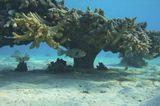 Коралл Фараонова Акропора, Колючий АротронКрасное море